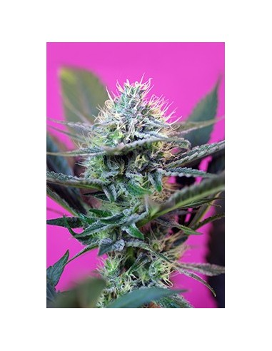 + Speed Auto Sweet Seeds