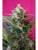 SWEET SEEDS BIG DEVIL XL AUTO