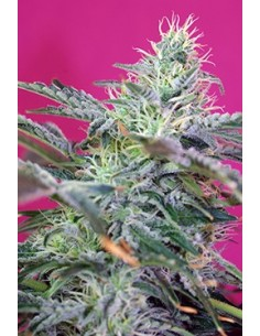 SWEET SEEDS SWEET CHEESE AUTO