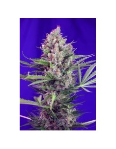 SWEET SEEDS CREAM MANDARINE FAST VERSION