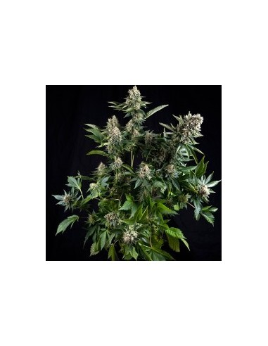 PYRAMID SEEDS WHITE WIDOW