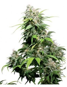 SENSI SEEDS CALIFORNIA INDICA REG.