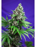 SWEET SEEDS KILLER KUSH FAST VERSION