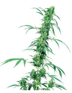 SENSI SEEDS FRUITY JUICE REG.